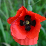 Coquelicot thumbnail