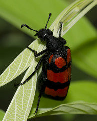 Blister Beetle (Blue wing photography) Tags: insect macro blister beetle nature