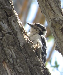 Downy Woodpecker (Bug Eric) Tags: animals wildlife nature outdoors birds birding birdwatching ornithology woodpeckers songbirds fountaincreekregionalpark fountain colorado usa female downywoodpecker northamerica april282019