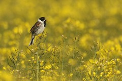 Reed Bunting  (Emberiza schoeniclus)   on oil seed rape Snargate Kent (GrahamParryWildlife) Tags: grahamparrywildlife sigma 150600 sport 150 600 canon 7d mkii outdoor animal depth field mk2 uk kent rspb viewing photo new sunlight up blue dof kentwildlife green grass bird sky water first found birds graham reed bunting emberiza yellow rape seed oil