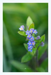 137-365-2.jpg (lodebelvo) Tags: flower myosotis fleur