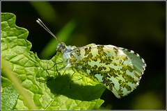 Orange tip Butterfly - Female (Smudge 9000) Tags: 2019 butterfly orangetip spring female