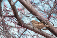 Spring in Chicago (Pamprelune eye) Tags: oiseau bird moineau sparrow wildlife canon canon80d colors spring chicago usa tree mood moody