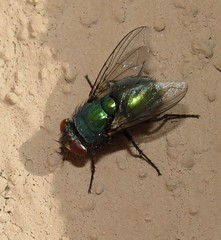 Greenbottle fly (Bug Eric) Tags: animals wildlife nature outdoors insects bugs flies calliphoridae diptera sondermannpark coloradosprings colorado usa lucilia blowflies blowfly northamerica april262019