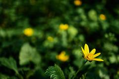 yellow (Jos Mecklenfeld) Tags: sonya6000 sonyilce6000 sony30mmf35macro sel30m35 westerwolde niederlande nederland flowers blumen bloemen forest wald bos nature natur natuur boterbloem ranunculus buttercups hahnenfus terapel groningen netherlands