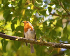 Nunhead Wildlife,, (Adam Swaine) Tags: robin robinredbreast birds rspb woodland trees naturelovers nature britishbirds englishbirds gardenbirds uk england english britain british spring peckhamryepark wildlife