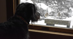 Cooper birdwatching (Pictures by Ann) Tags: cooper dog birdwatching winter snow