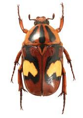Plaesiorrhinella trivittata (dries.marais) Tags: coleoptera scarabaeidae cetoniinae cetoniini plaesiorrhinella trivittata africa southafrica beetle insect fruitchafer