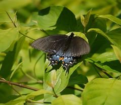 eastern tiger swallowtail (Thundercheese) Tags: butterfly tigerswallowtail northcarolina