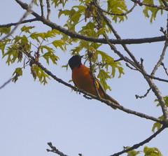 Baltimore Oriole (Thundercheese) Tags: rockcreekpark bird oriole washington dc
