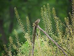 house wren (Thundercheese) Tags: rockcreekpark washington dc bird wren