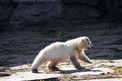 """kleine Eisbärin """"Hertha"""" im Tierpark Berlin (Georg Brutalis) Tags: berlin eisbär friedrichsfelde hertha polarbär tierpark ursusmaritimus zoo deutschland"""