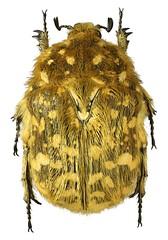 Xeloma tomentosa (dries.marais) Tags: coleoptera scarabaeidae cetoniinae cetoniini xeloma tomentosa fruitchafer