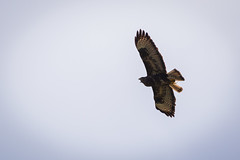Bussard (mopro73) Tags: natur tiere vogel