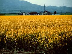 Canola field (threepinner) Tags: bibai hokkaidou hokkaido northernjapan spring canola farm mamiya m645 sekor 150mm f35 positive selfdeveloped 美唄 北海道 北日本 菜の花