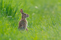 Alert (scott5024) Tags: cotton tailed rabbit wildlife early morning sun grass green spring bunny