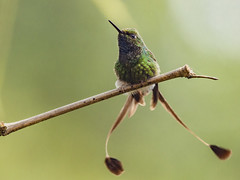 Booted Racket-tail playing with the wind (PriscillaBurcher) Tags: trochilidae ocreatusunderwoodii colibríderaquetas bootedrackettail colibríesdecolombia hummingbirdsfromcolombia birdsofthecolombianandes hummingbirdsofcolombia avesdeaméricadelsur avesdecolombia birdsofcolombia fincaalejandria km18viacalibuenaventura cali colombia priscillaburcher dsc5847