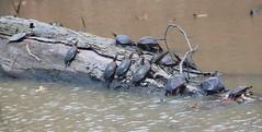 Thirteen Turtles (peterkelly) Tags: digital canon 6d northamerica wheatley ontario canada pierroad paintedturtle turtles log water creek stream basking