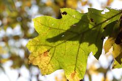 Oak Leaf Shadow (peterkelly) Tags: digital canon 6d northamerica wheatley ontario canada pierroad redoak leaf shadow tree branch