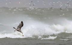 Food Drop (peterkelly) Tags: digital canon 6d northamerica ontario canada pointpeleenationalpark tip storm waves water lakeerie bird gull gulls birds flock windy wind stormy