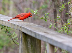 Northern Cardinal On The Edge (Wes Iversen) Tags: cardinaliscardinalis fancyfence hsos mageemarsh mageemarshwildlifearea northerncardinal oakharbor ohio smileonsaturday tamron150600mm boards boardwalks bokeh branches fence nature railings wildlife