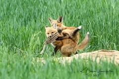 WWE Wrestler mania!  The dogleg move! (bryce yamashita) Tags: colorado d850 fox foxkit nature nikon redfox wildlife yamashita