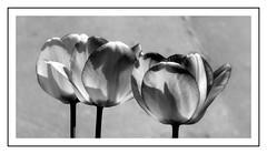 Tulipany B&W. (andrzejskałuba) Tags: poland polska pieszyce dolnyśląsk silesia sudety europe plant roślina rośliny plants natura nature natural natureshot natureworld nikoncoolpixb500 macro beautiful biały black bw blackwhite garden ogród flower flora floral flowers kwiat kwiaty tulip tulipan tulipany tulips czarny white wiosna spring shadow cień 100v10f 1000v40f