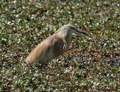 Squacco Heron (Ardeola ralloides) (iainrmacaulay) Tags: bird france camargue squacco heron ardeola ralloides