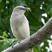 Sturnia sinensis - White-shouldered Starling