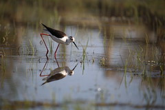 Black-winged Stilt (Nora077) Tags: blackwingedstilt cigüeñela gólyatöcs