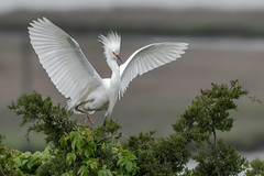 Snowy Egret (Kevin E Fox) Tags: snowyegret egret oceancity welcomecenter newjersey bird birdwatching birding birds birdphotography sigma150600sport sigma shorebirds shorebird nature nikond500 nikon