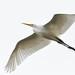 DSC_8961.jpg Great Egret, Long Marine Lab