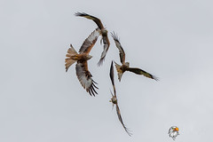 The Red Arrows - Sorry Kites (Simon Stobart - Back For Now) Tags: red kites milvus display wales uk