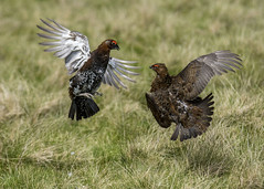 Red Grouse having a right battle (Yvonne Alderson) Tags: redgrouse durham moorland heather fight male spring yvonne yvonnealderson aggressive bird