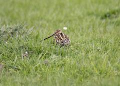 Snipe (Yvonne Alderson) Tags: snipe moorland durham moors bird