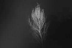 postcards from the emptiness VI (Mindaugas Buivydas) Tags: lietuva lithuania bw spring march tree trees memelland priekulė priekule dark darkness postcardsfromtheemptiness mindaugasbuivydas whiteinblack