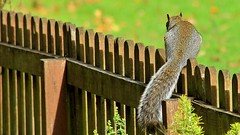 Squirrel Highway...... smile on saturday, fancy fence (BIKEPILOT, Thx for + 5,000,000 views) Tags: smileonsaturday fancyfence squirrel animal wildlife fence wood rodent fluffytail greysquirrel post farnham surrey uk england naturalworld britain farnhamcricketground farnhampark fauna reedit