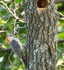 Red-bellied Woodpecker (Lindell Dillon) Tags: redbelliedwoodpecker bird birding nature oklahoma crosstimbers wildoklahoma