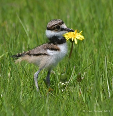 Killdeer Baby (Arvo Poolar) Tags: outdoors ontario canada scarborough scarboroughbluffs arvopoolar bird killdeer grass green nature naturallight natural naturephotography nikond500