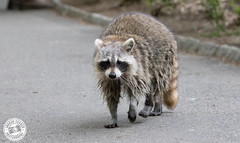 Racoon - Procyon lotor (Lauren Tucker Photography) Tags: america centralpark mammal manhattam nature newyork newyorkcity ny nyc raccoon usa wildlife procyon lotor canon slr camera markii 7d 100400mm copyright ©laurentuckerphotography photography photographer photograph photo image pic picture allrightsreserved 2019 winter spring colour wild bird migration us city manhattan brooklyn queens