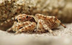 Sitticus on a Rock (#1) (Doundounba) Tags: pentax k3 pentaxm135mmf35 raynox msn202 macro salticidae spider jumpingspider sitticussp villeray montréal québec araignée saltique arthropod focusstack sitticusfasciger