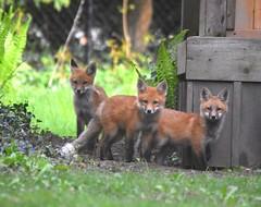 Fox kits (Peter Granka) Tags: redfox fox foxkits