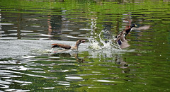Next Goose Chase 1 (MTSOfan) Tags: egyptiangoose duck mallard chase territory lvz