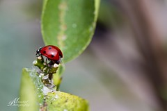 14. beetles (♥ MissChief Photography ♥) Tags: ladybug ladybird coccinelle insect beetle 119picturesin2019