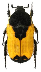 Polybaphes balteata (dries.marais) Tags: coleoptera scarabaeidae cetoniinae cetoniini polybaphes balteata fruitchafer africa southafrica
