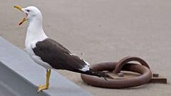 A Great Black Backed Gull in Stockholm (Franz Airiman) Tags: stockholm sweden scandinavia finnboda larusmarinus bird fågel djur animal
