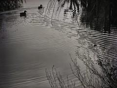 Ducks , water , reflections , light (STEHOUWER AND RECIO) Tags: duck ducks water aqua reflections reflecties eenden licht blackandwhite monochrome bw bnw zw zwartwit light dutch netherlands nederland holland spring lente