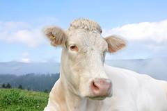 Charolais Kuh (Mariandl48) Tags: charolaiskuh kuh rind sommersgut wenigzell steiermark austriaa