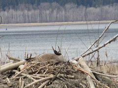 Time out to preen (jamica1) Tags: branta canadensis canada goose salmon arm shuswap nature bay bc british columbia nest