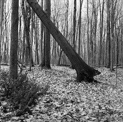 After Winter (alsteele) Tags: yashicamat fomapan iso200 caffenol cl tree